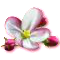 bloomingmar2017appleblossom[1].png