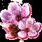 bloomingmar2017cherryblossom[1].png