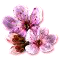 bloomingmar2017cherryblossom.png
