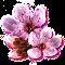 bloomingmar2017cherryblossom.png