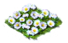 daisy_Icon.png