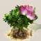 Seidenakazienblüte.png
